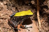 black and yellow frog Climbing Mantella, Madagascar