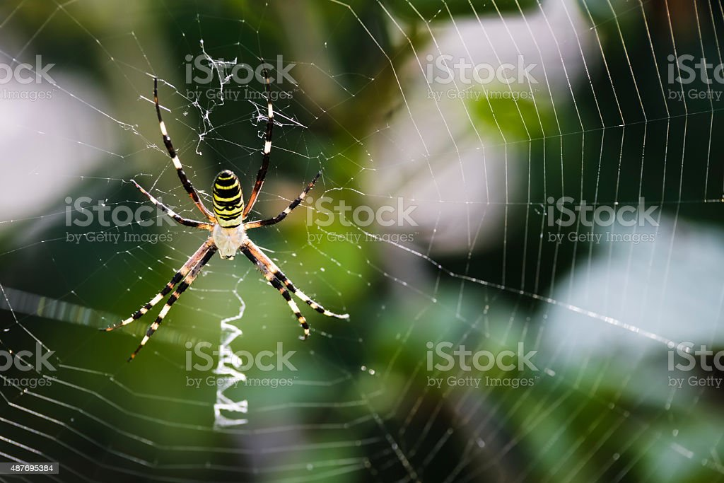 Black and yellow garden spider on web stock photo