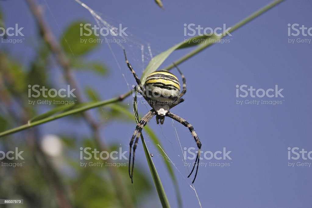 black and yellow garden spider stock photo