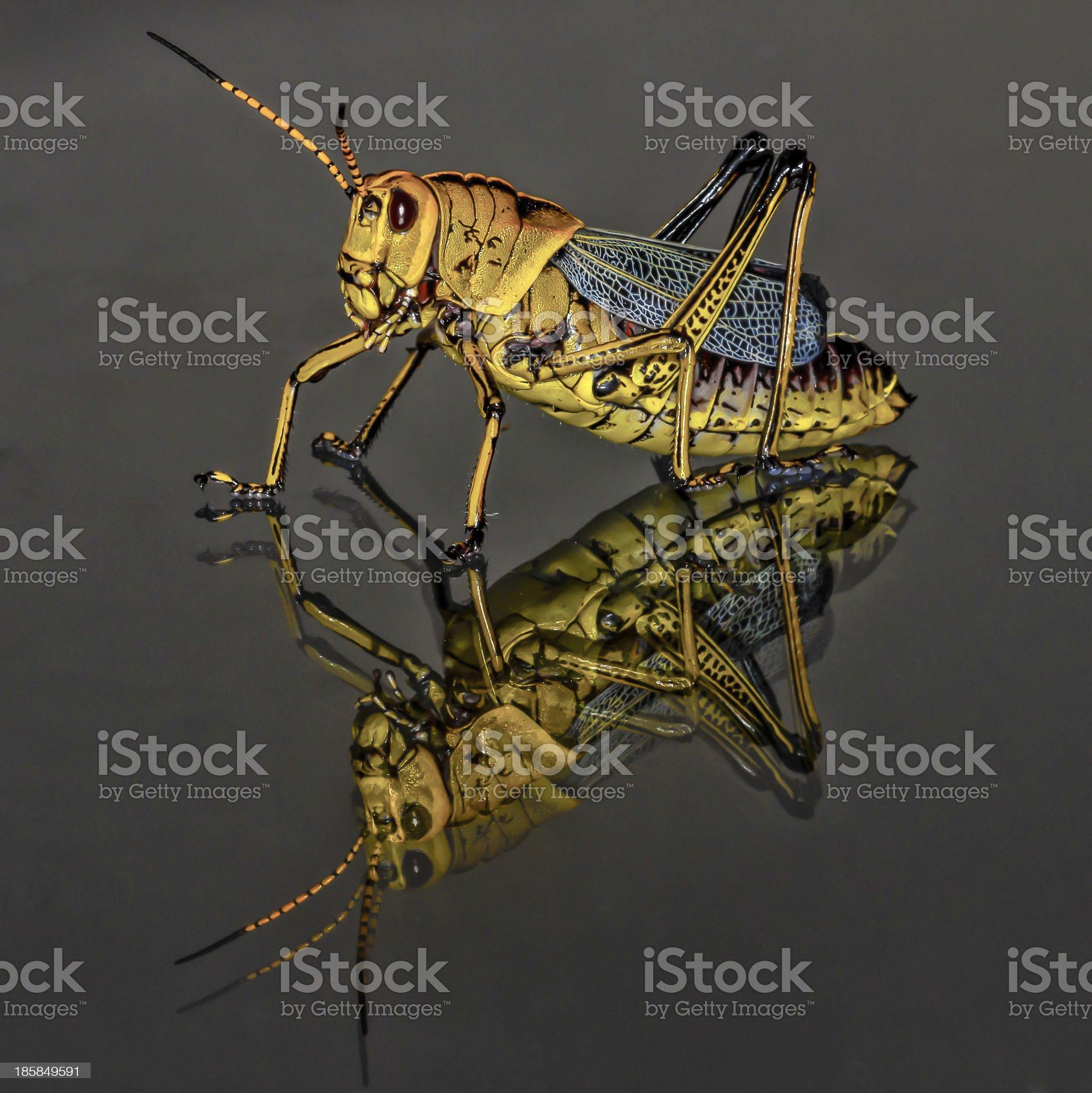 Black and Yellow Grasshopper Macro Closeup royalty-free stock photo