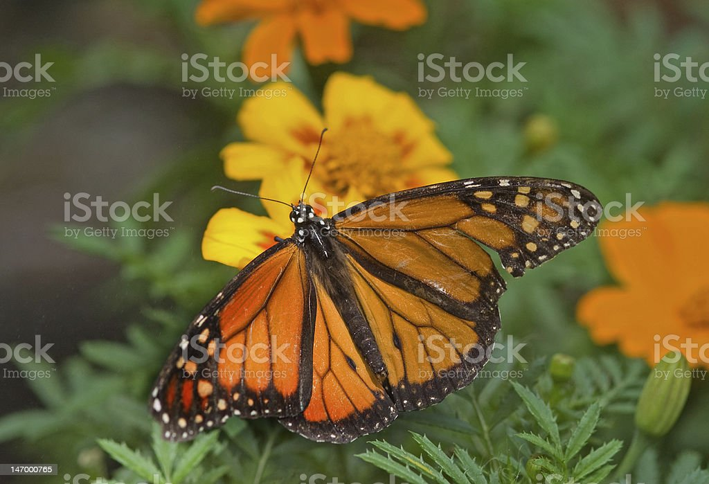 Black and Yellow Monarch Butterfly royalty-free stock photo