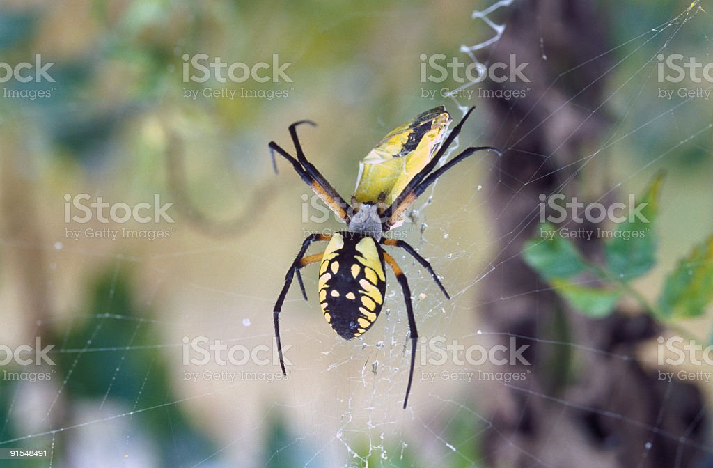 black and yellow spider eating moth (35mm slide scan) royalty-free stock photo
