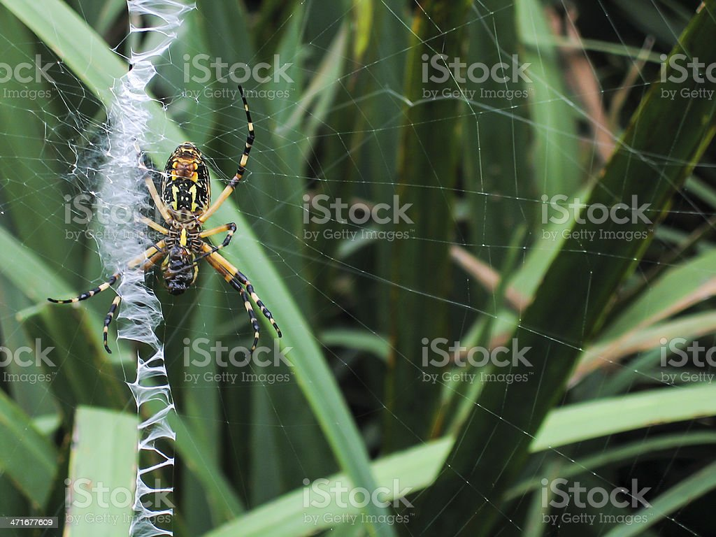 Black and Yellow Spider stock photo