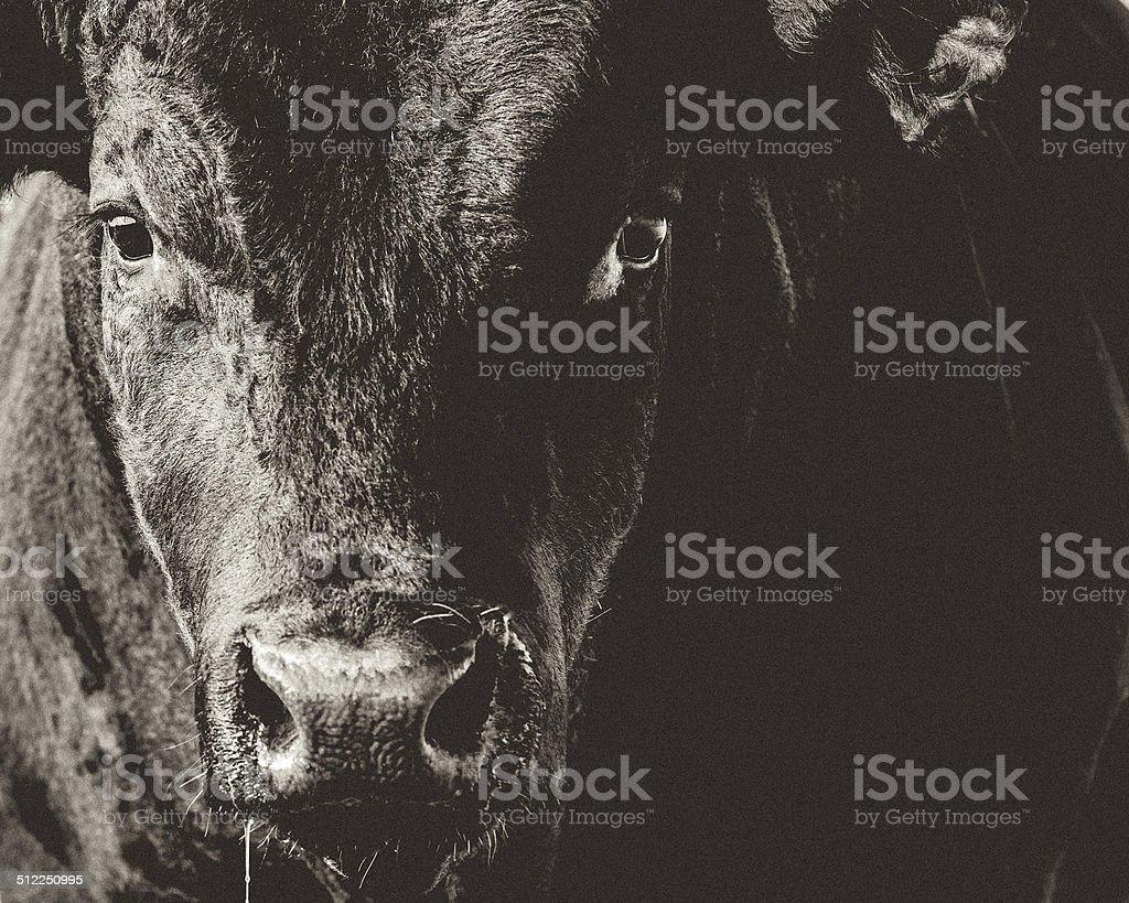 Black Angus Bull Head & Face Closeup Black & White royalty-free stock photo