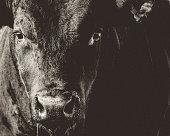Black Angus Bull Closeup