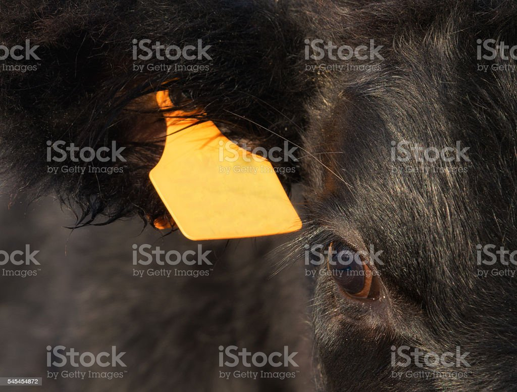 Black angus calf eye and ear mark stock photo