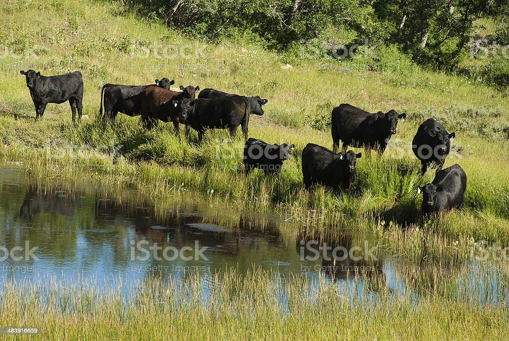 Black Angus Cattle and pond on the Kolob Plateau Utah stock photo
