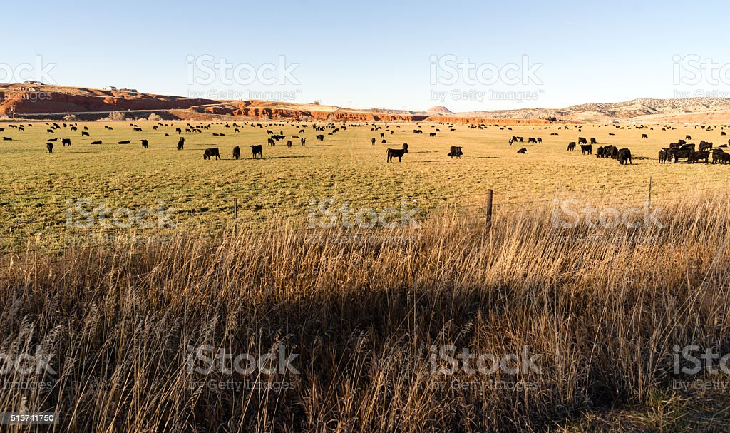 Black Angus Cattle Graze Large Ranch Wyoming Domestic Animal stock photo