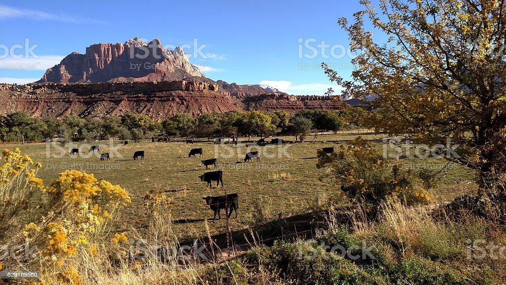 Black Angus cattle in late summer pastures Rockville Utah stock photo