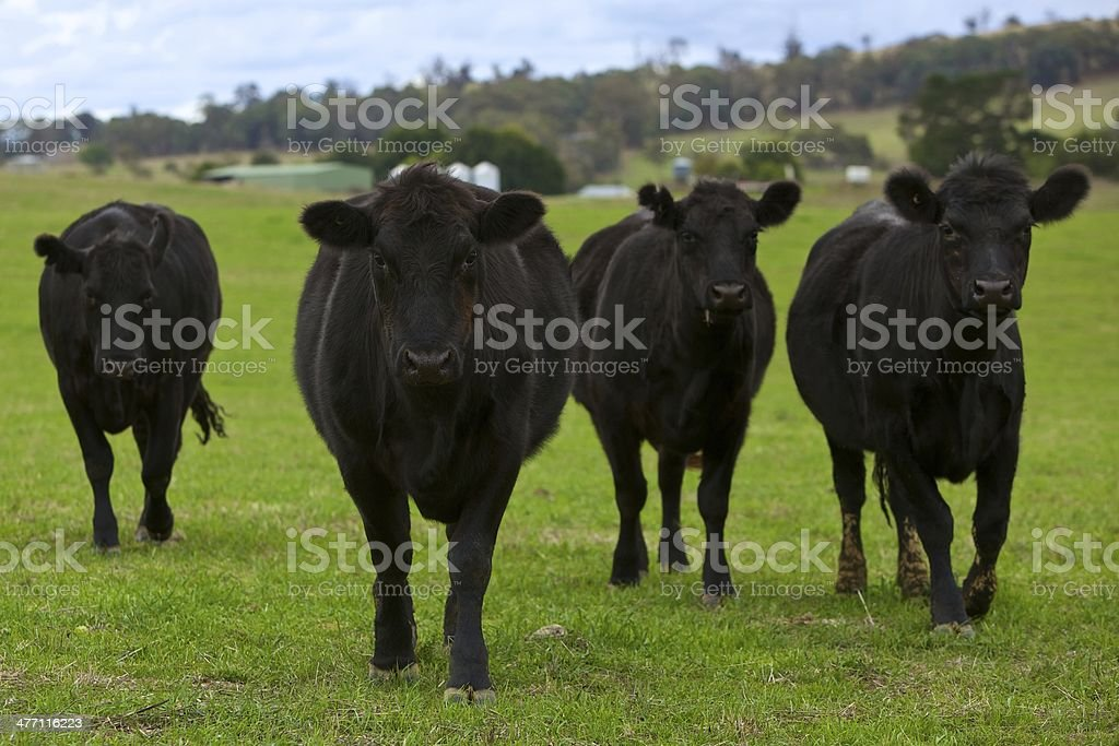 Black Angus cattle on green pasture stock photo