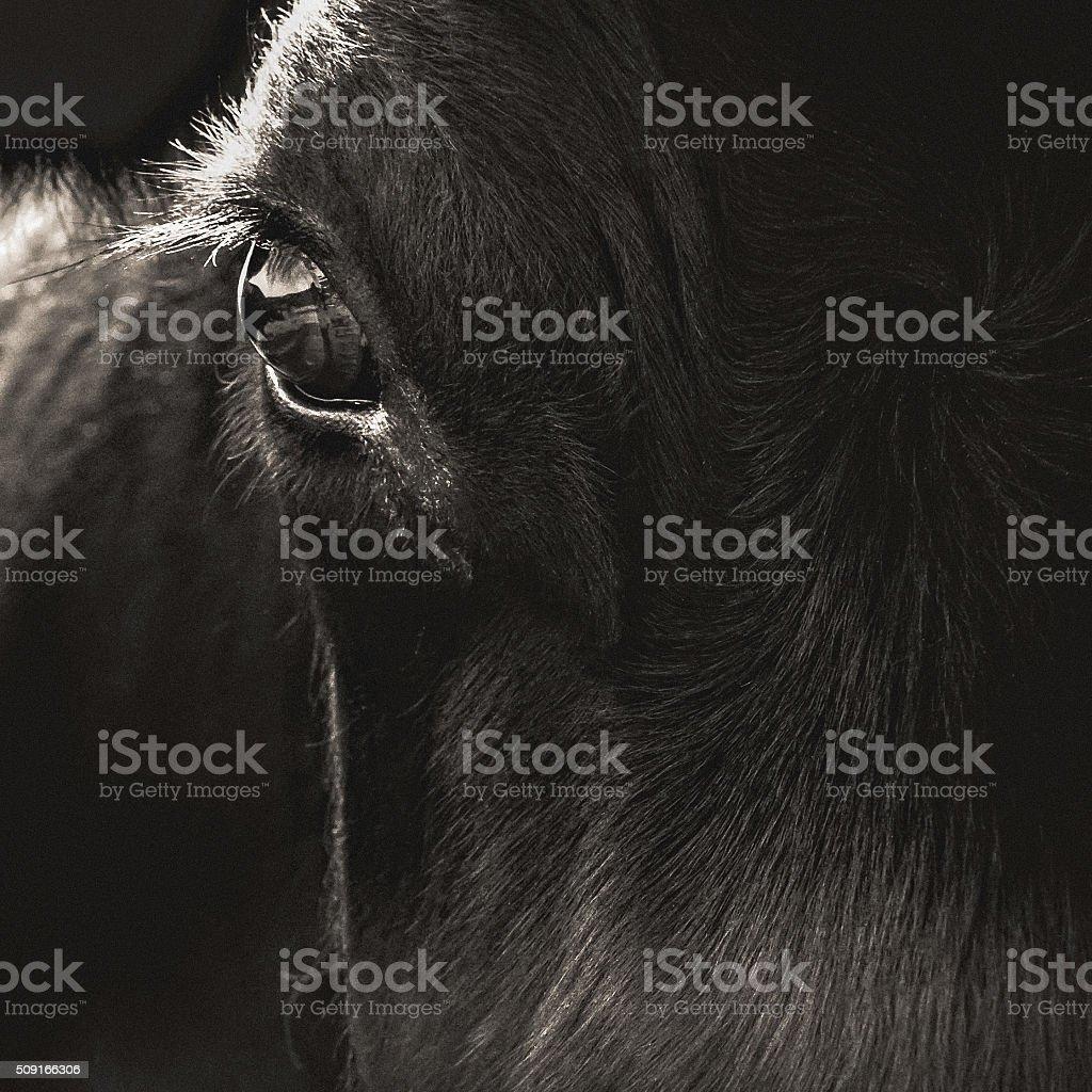 Black Angus Cow Face Closeup stock photo