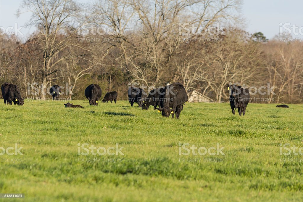 Black Angus cows grazing in a ryegrass pasture in early spring stock photo