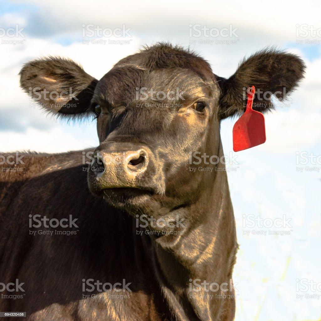 Black Angus heifer face - square stock photo
