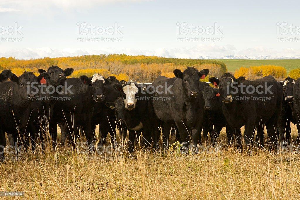Black Angus stock photo