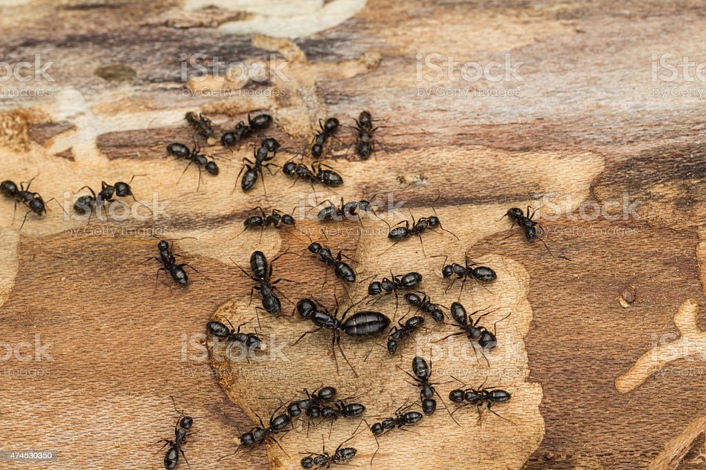 Black ant colony with queen stock photo