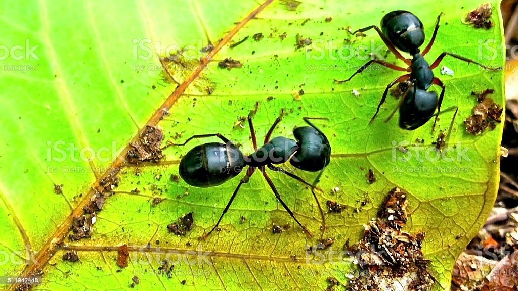 black Ant on a green leaf stock photo
