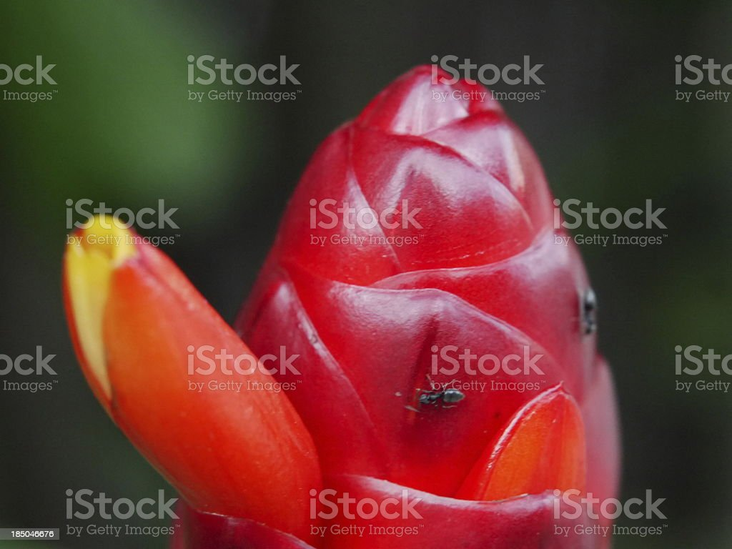 Black Ant on Red Flower royalty-free stock photo