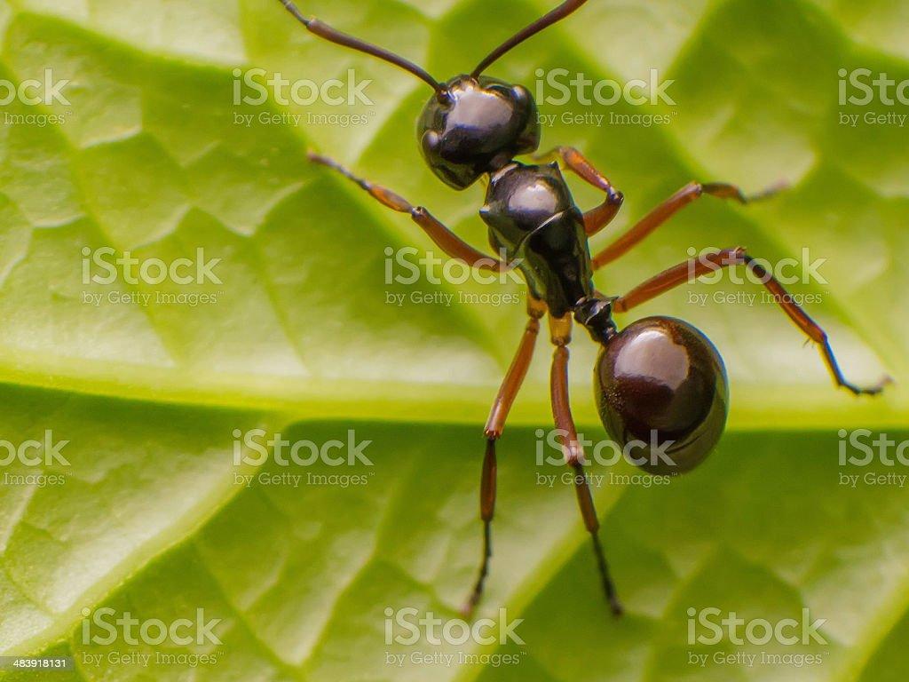 Black Ant. stock photo
