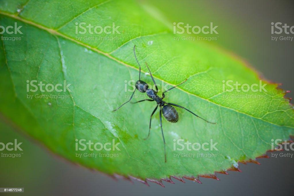 Black Ant stock photo