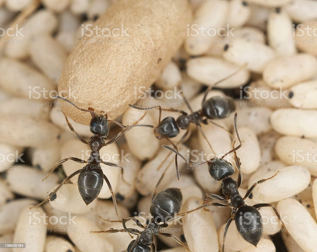 Black ant (Lasius niger) rescuing larva stock photo