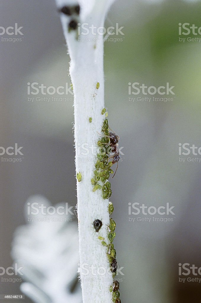 black ant with black and green aphids colony stock photo