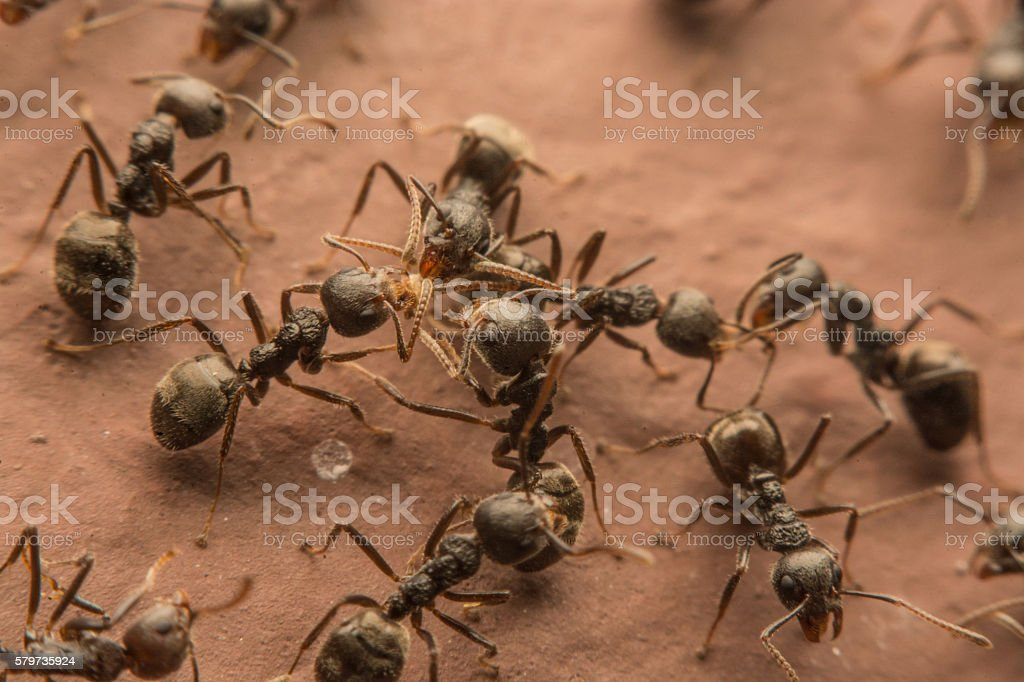 Black ants are spoiling food. stock photo