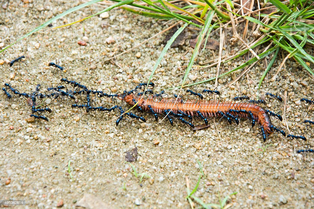 Black ants combine its power to pull dead millipede stock photo