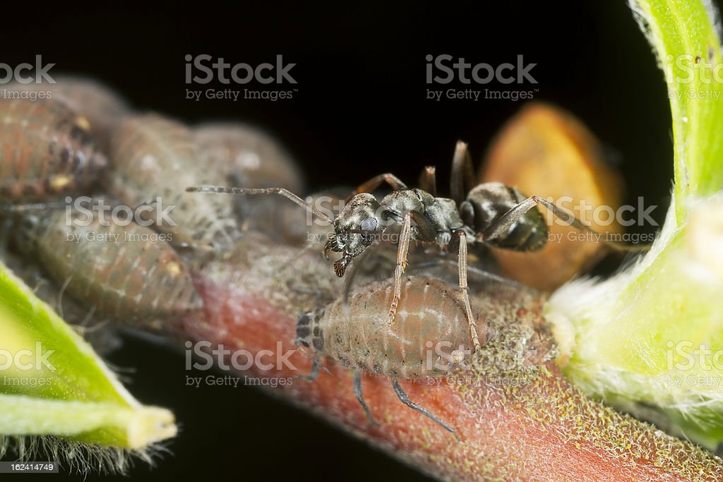 Black ants (Lasius niger) harvesting on aphids royalty-free stock photo