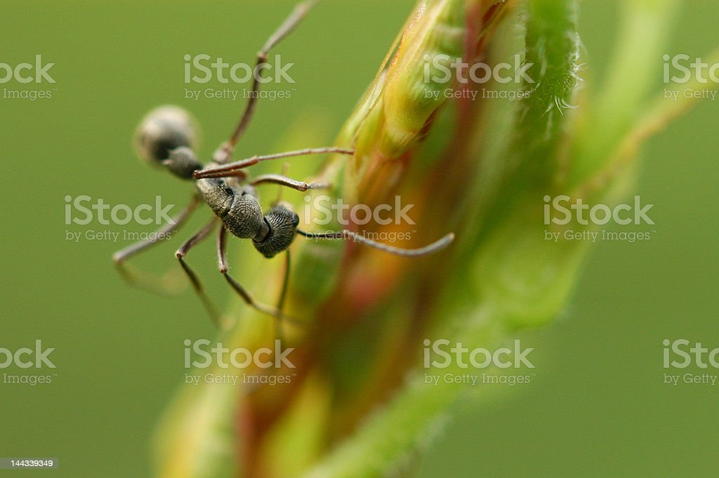 black ants in the gardens royalty-free stock photo