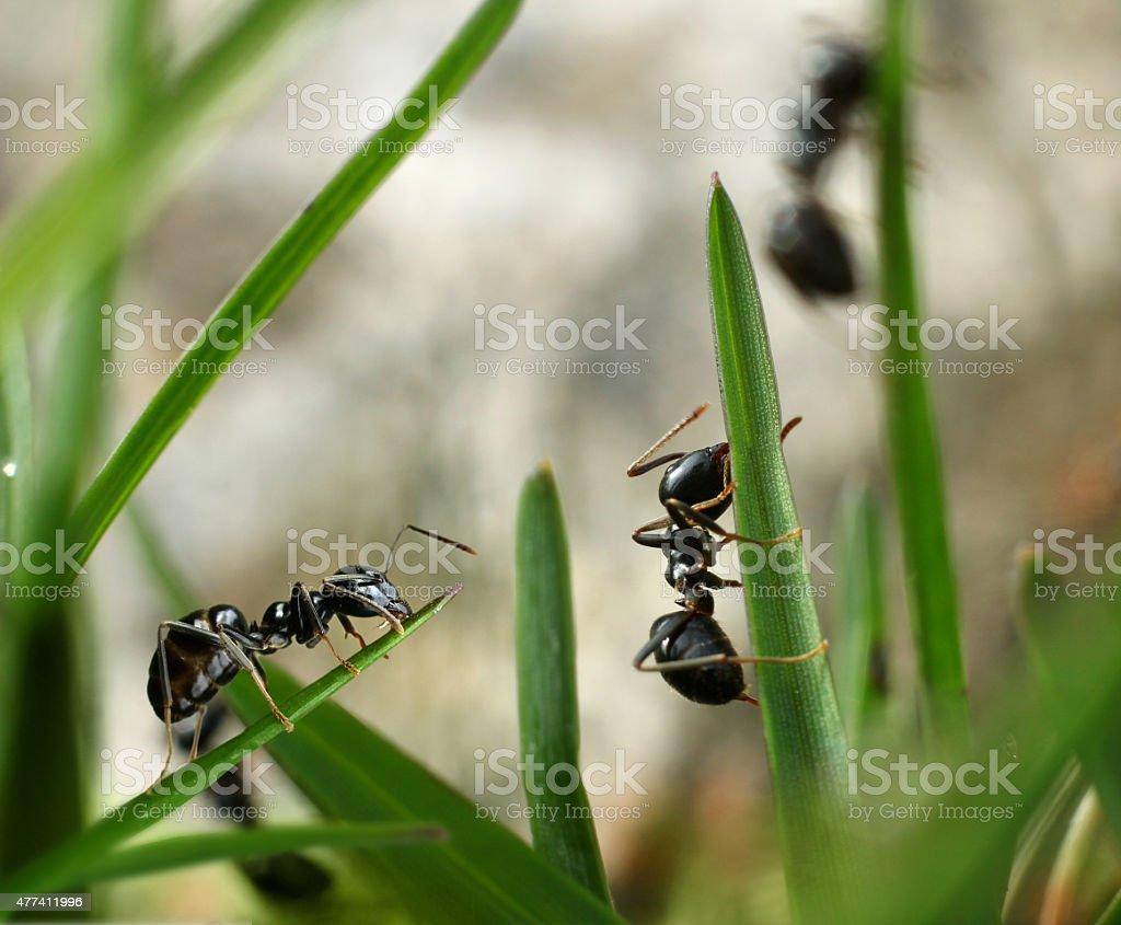 Black ants invasion conquering garden stock photo