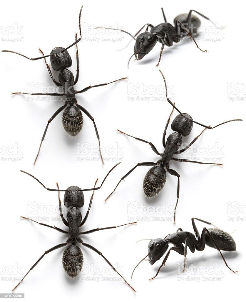 black ants stock photo