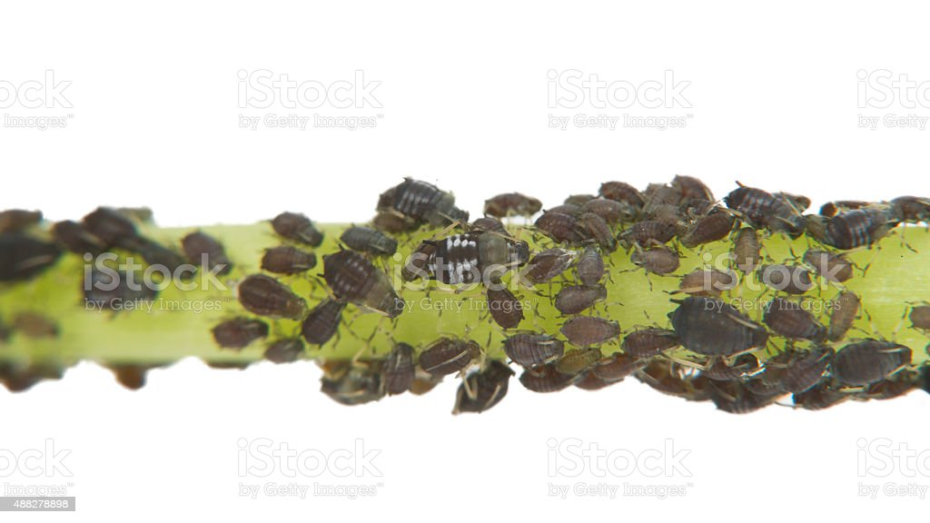 Black Aphid Infestation stock photo