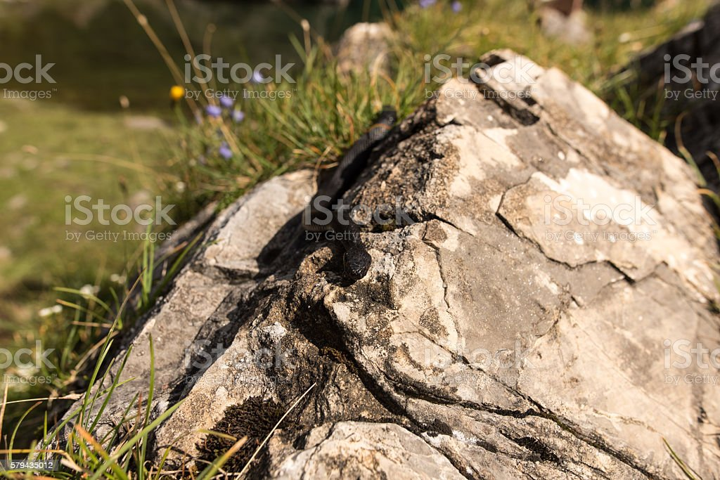 Black Aspisviper, a rare venomous serpent of Austria stock photo