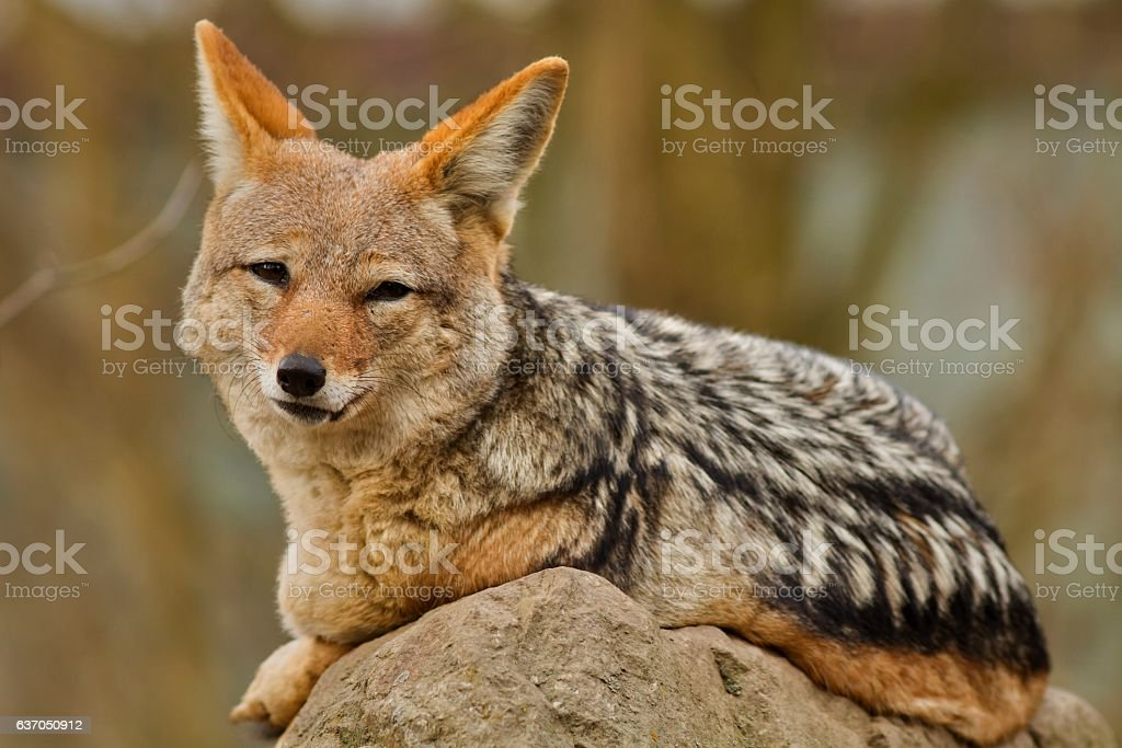 Black backed jackal is resting in the nature habitat stock photo
