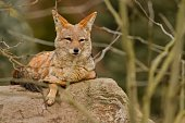 Black backed jackal is resting in the nature habitat