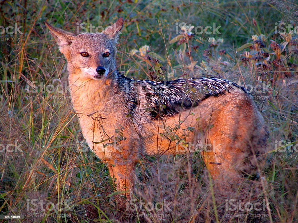 Black backed jackal royalty-free stock photo
