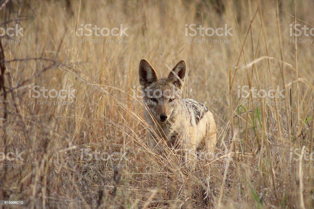 Black backed jackal stock photo