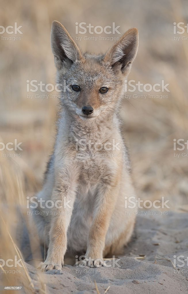 black backed jackal pup royalty-free stock photo