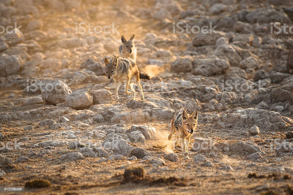 Black backed jackals running after each other stock photo