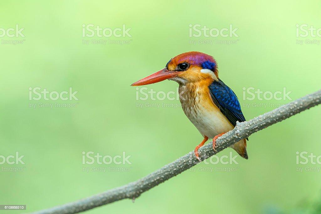Black backed Kingfisher stock photo