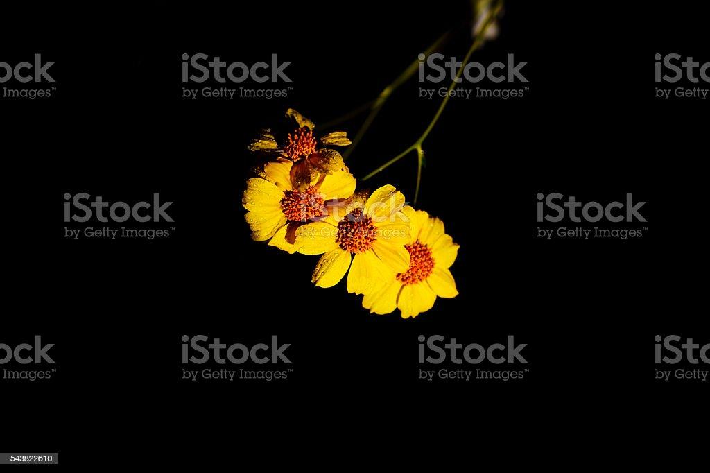 Black background with brittlebush flowers stock photo