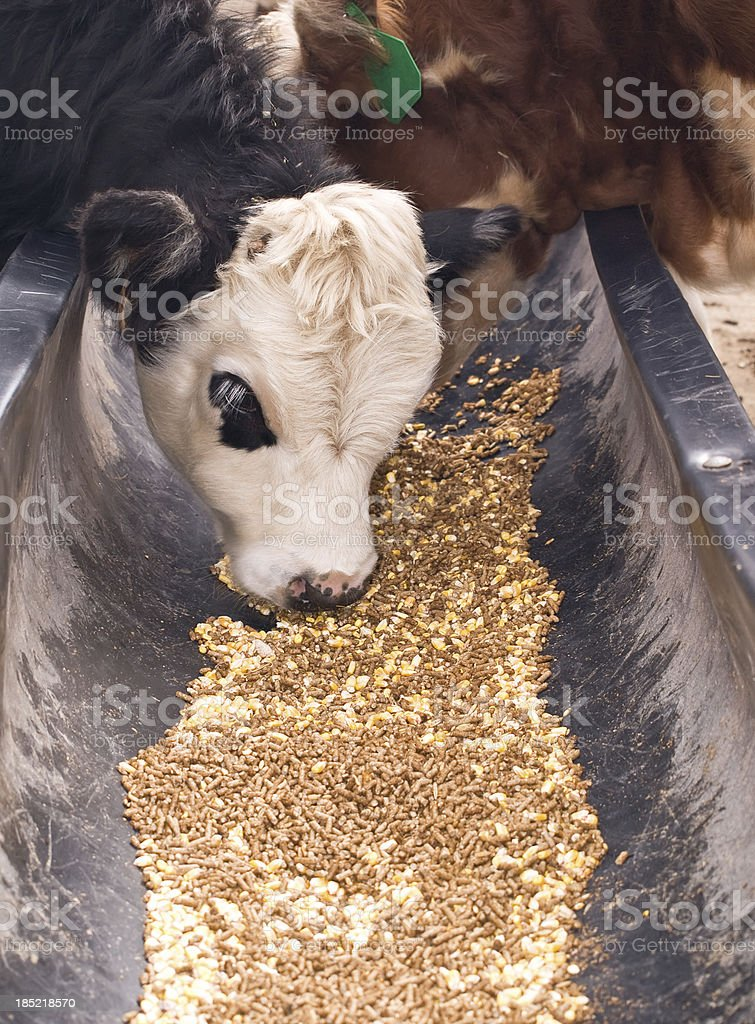 Black Baldie Calf Eating Grain royalty-free stock photo