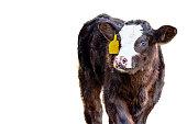 Black baldy calf - isolated
