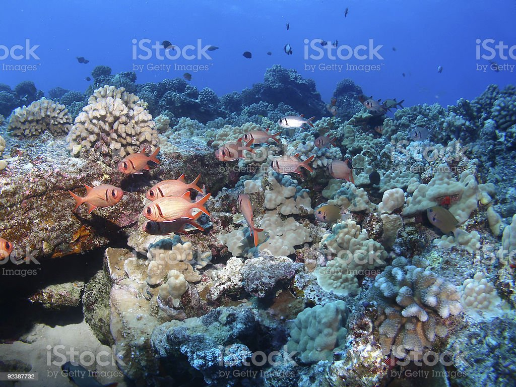 Black Bar Soldier Fish on a Maui reef in Hawaii stock photo