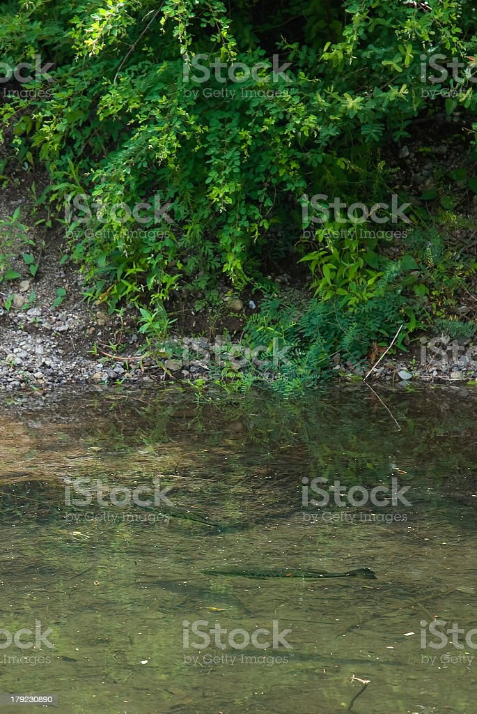 Black Bass ( Micropterus salmoides ) royalty-free stock photo