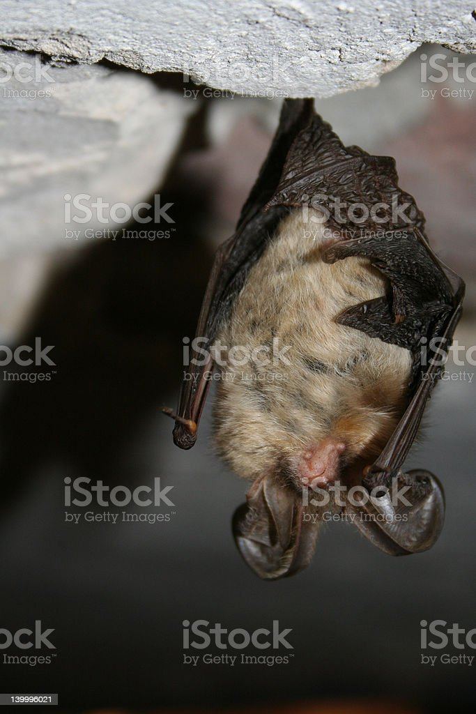 black bat stock photo