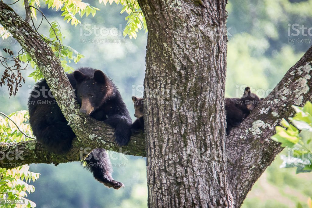 Black bear and Cubs sleeping in Tree stock photo
