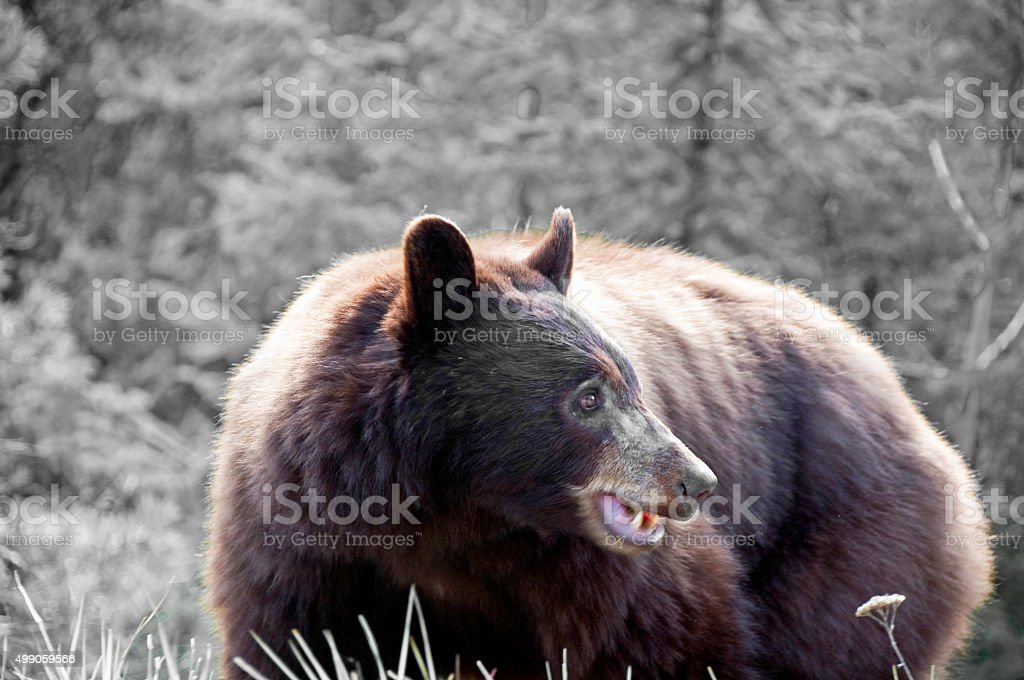 Black Bear angry with a black and white background stock photo