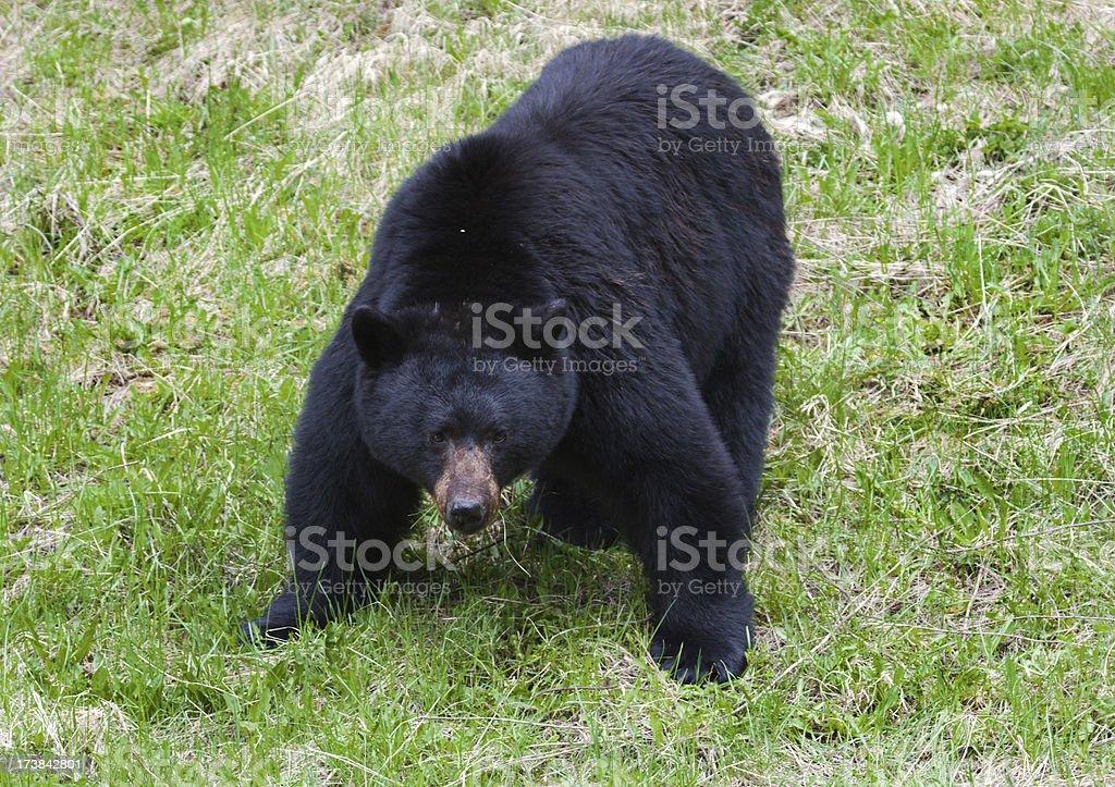 Black Bear - Attack Mode stock photo