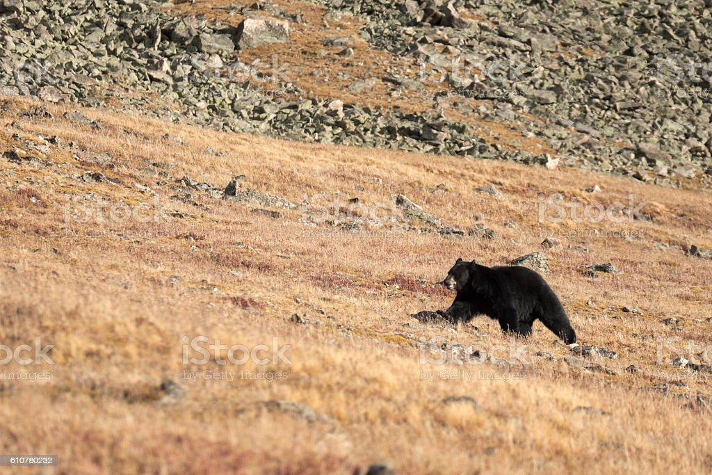 Black bear climbs over Continental Divide Indian Peaks Wilderness Colorado stock photo